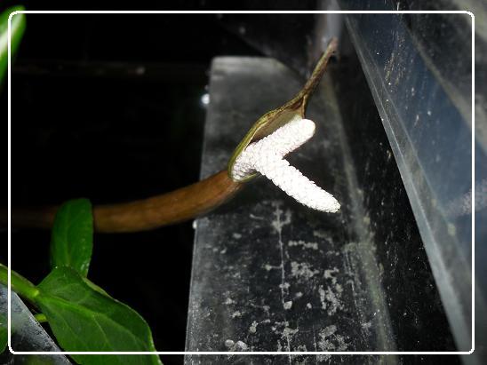 L'évolution d'une fleure  Aponogeton boivinianus Sdc12623-1ede82c